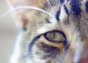 Конъюнктивит у котов: симптомы и лечение