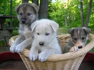 Продолжительность жизни дворняг или породистых собак