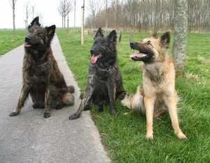 Три голландских овчарки разного окраса