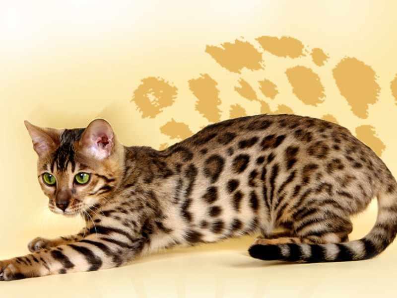 Бенгальская кошка - маленький леопард