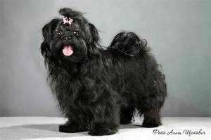 Русская цветная болонка - фото собаки