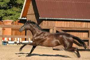 английская чистокровная лошадь в прыжке