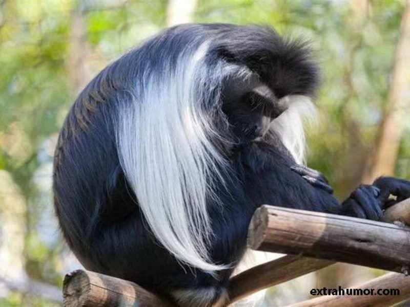 Черно-белый колобус