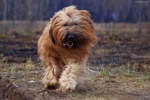 Чем кормить собак бриаров