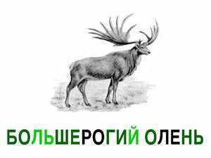 Как питается большерогий олень