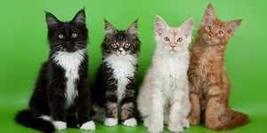 Подрастающие кошки породы мейн-кун