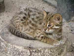 Амурский лесной котик в домашних условиях