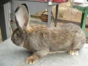 Кролик Бельгийский фландр