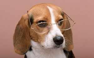 Собака с высоким уровнем интеллекта