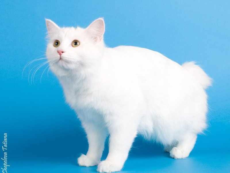 Белый котик курильский бобтейл на выставке