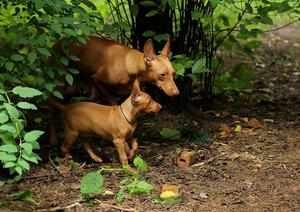 Как выглядит собака чирнеко дель этна