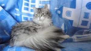 Взрослая сибирская кошка серебристого цвета