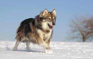 Какие повадки у собак волков