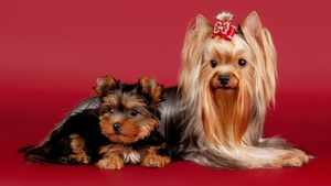 Йоркширский терьер и щенок на выставке