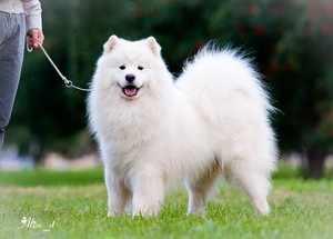 Собака чисто белого окраса
