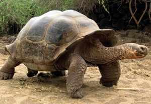 Слоновая черепаха - характеристики