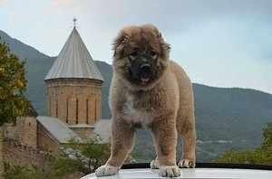 Чем питается армянский волкодав