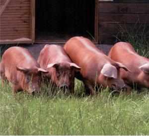 Выращивание свиней породы дюрок