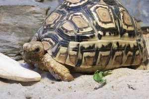 Панцырь среднеазиатской черепахи