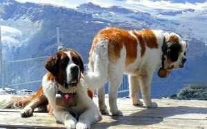 Описание истории породы собак сенбернар