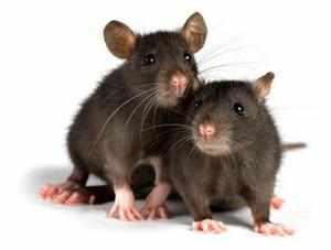 Декоративная крыса - содержание и уход