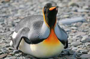 Описание пингвинов