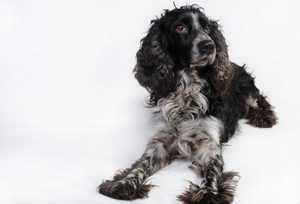 Порода собак спаниель - особенности