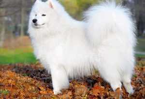 Внешний вид самоедских собак