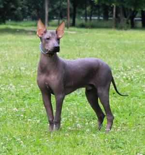 Мексиканская голая собака-описание