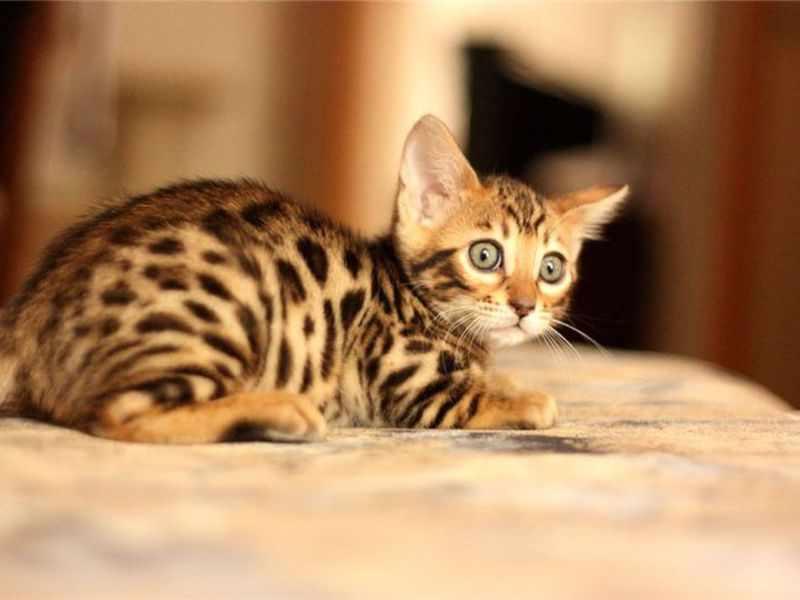 Бенгальский котенок привыкает к новому дому