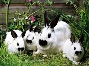 Кролики декоративных пород