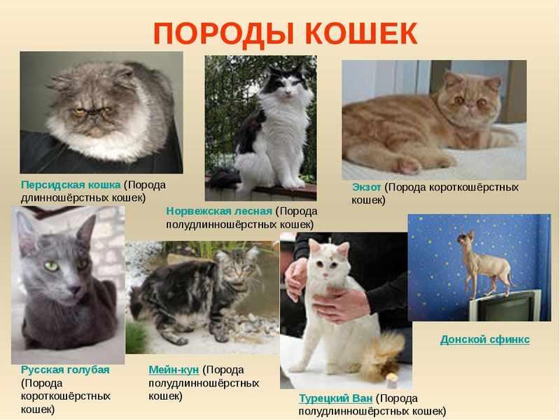 Какие породы кошек лучше