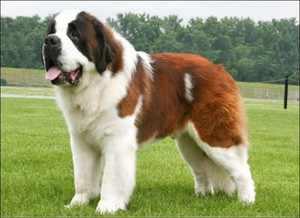 Как ухаживать за крупной собакой