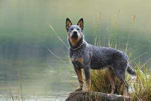 Описание пастушьей собаки из Австралии