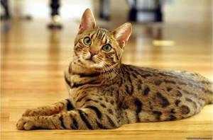 домашняя ласковая бенгальская кошка