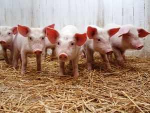 Рацион питания свиней