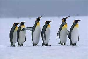 Пингвины это птицы