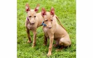 Описание собаки чирнеко дель этна