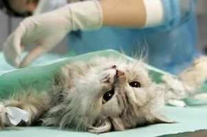 Стерилизация кошки в клинике