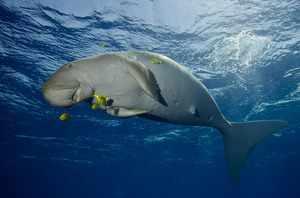 Морская корова дюгонь