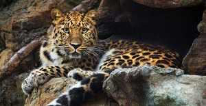 Дальневосточный леопард – размножение и воспитание потомства