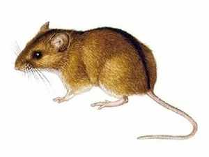 Описание мыши полёвки