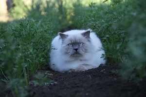 Уход за шерстью гималайской кошки