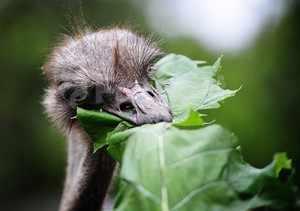 Что ест африканский страус