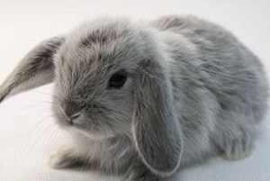 Порода кроликов Вислоухий карликовый баран