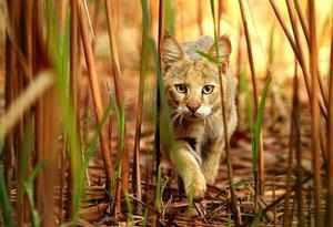 Хищное млекопитающее из семейства кошачьих