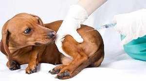 Возможные последствия прививки собаки