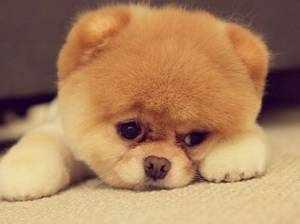 Собака - щенок медвежонок