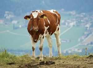 Айрширская молочная порода коров