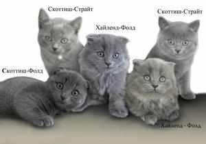 Разнообразные шотландские котята